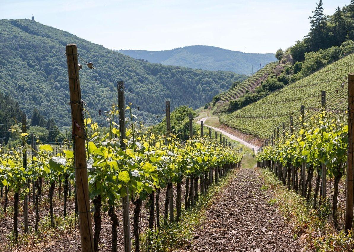 vines-806129_1280