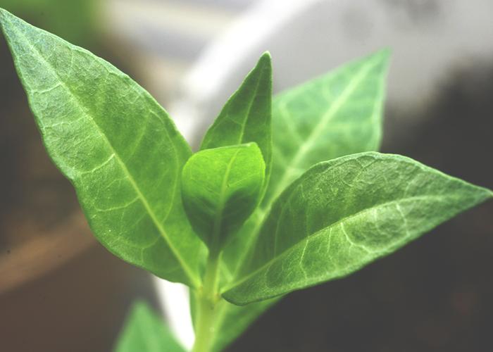henna-leaf